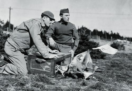 Bồ câu đưa thư thời chiến tranh